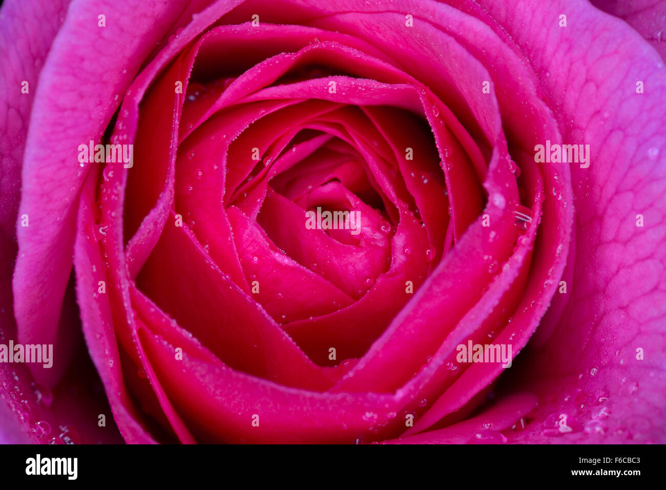 An extreme close up of a deep pink rose flower just opening in the morning with dew on the petals. - Stock Image