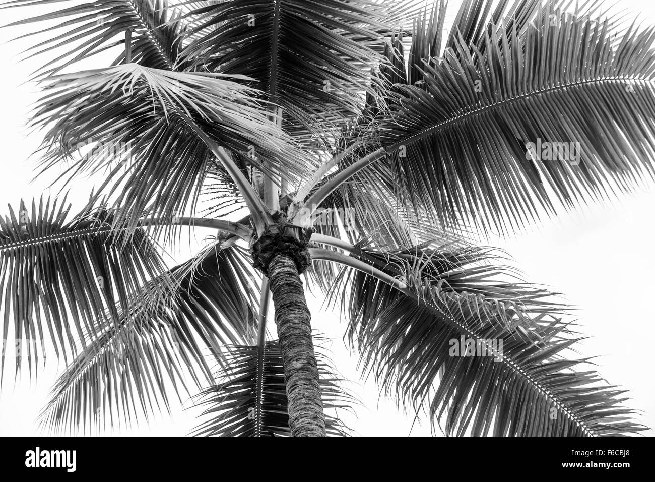Top of palm tree on cloudy sky background in black and white - Stock Image