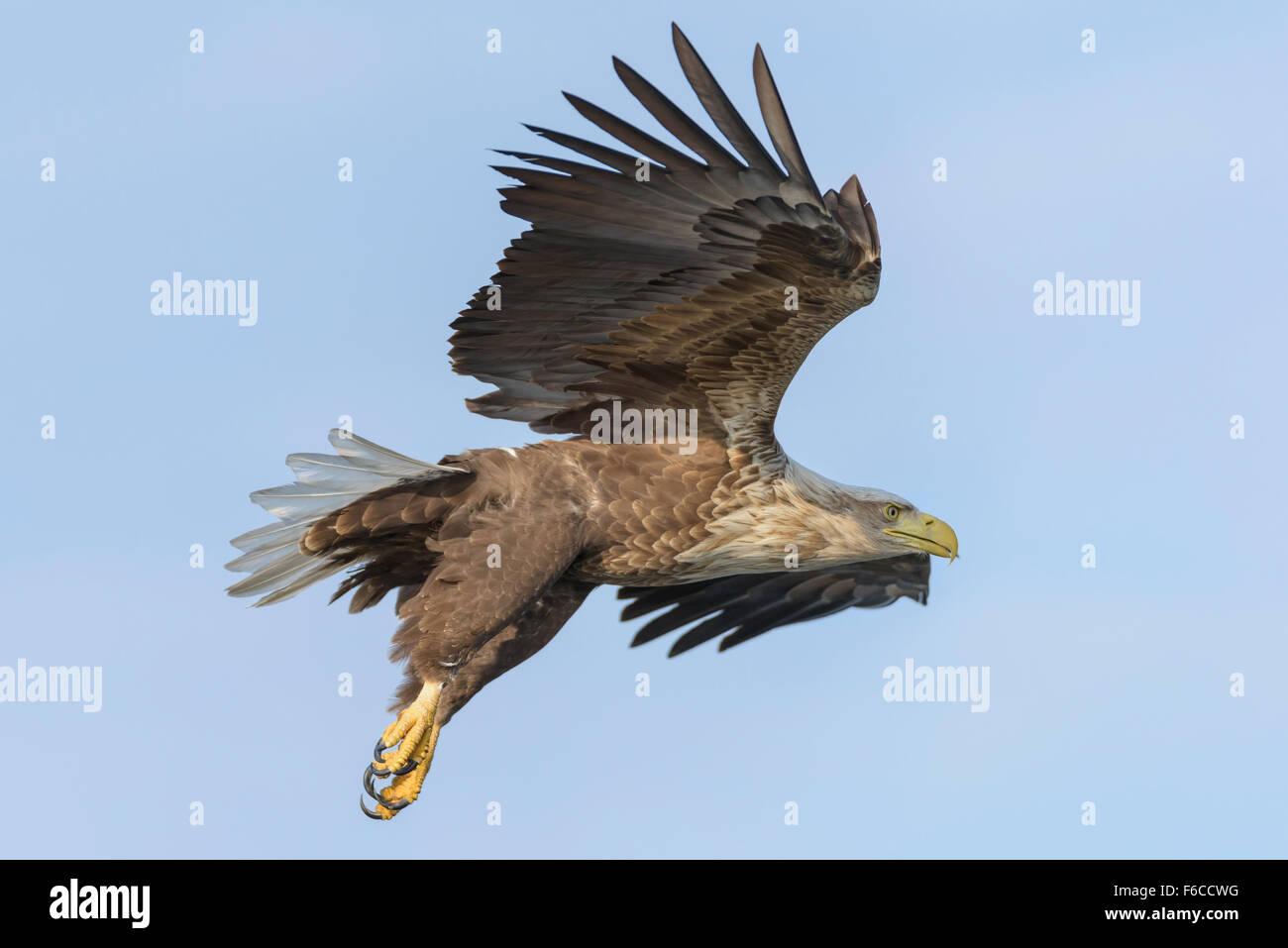 Seeadler, Haliaeetus albicilla, White Tailed Eagle Stock Photo
