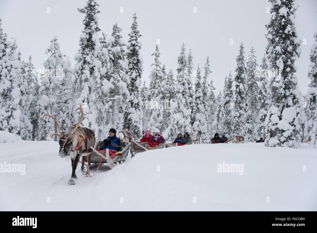 A reindeer sleigh tour in a picturesque setting through the trees in Levi Lapland - Stock Image