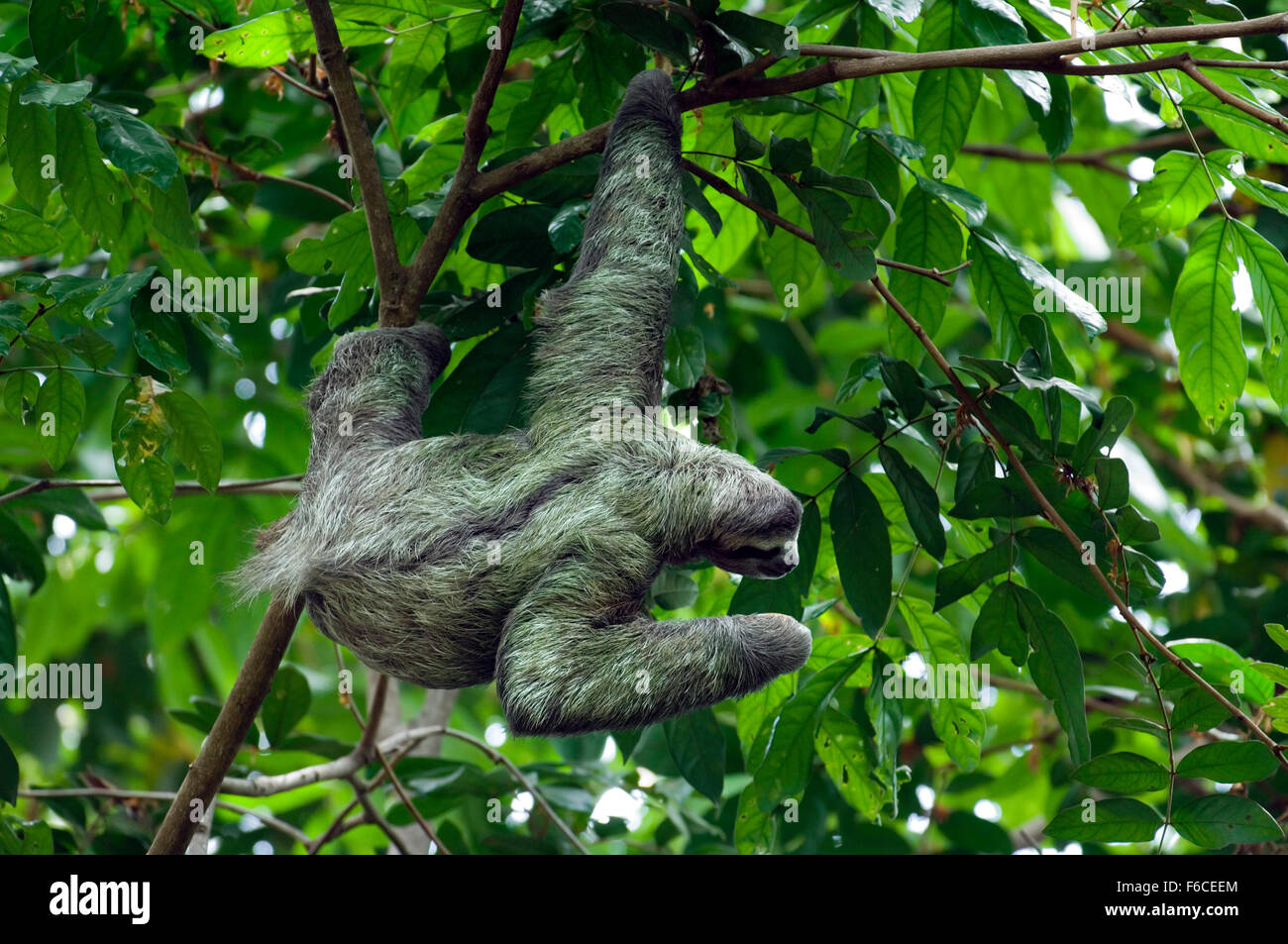 Brown-throated sloth / three-toed sloth (Bradypus variegatus) foraging in tree, Central America Stock Photo