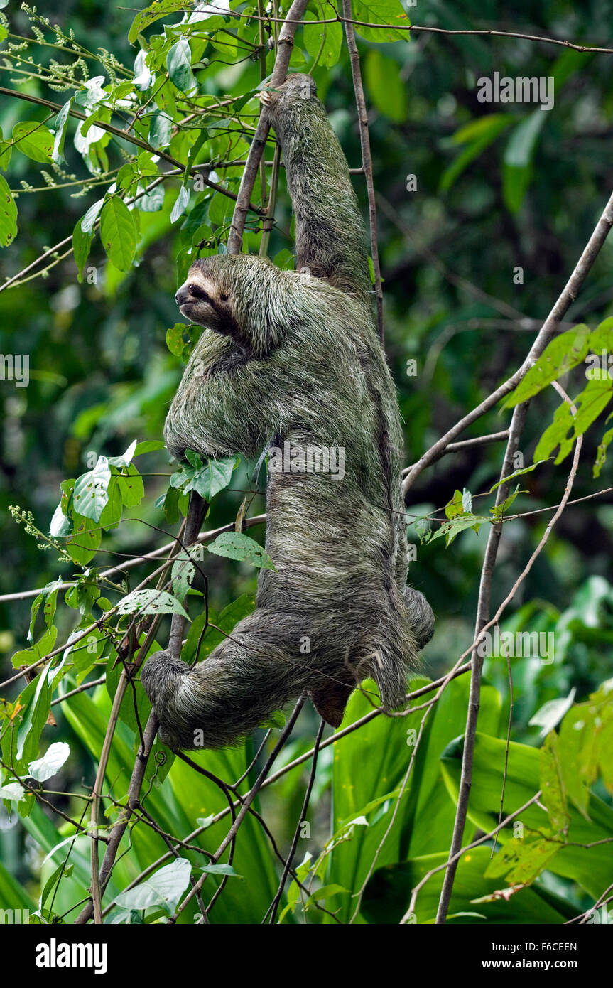 Brown-throated sloth / three-toed sloth (Bradypus variegatus) climbing in tree, Central America Stock Photo