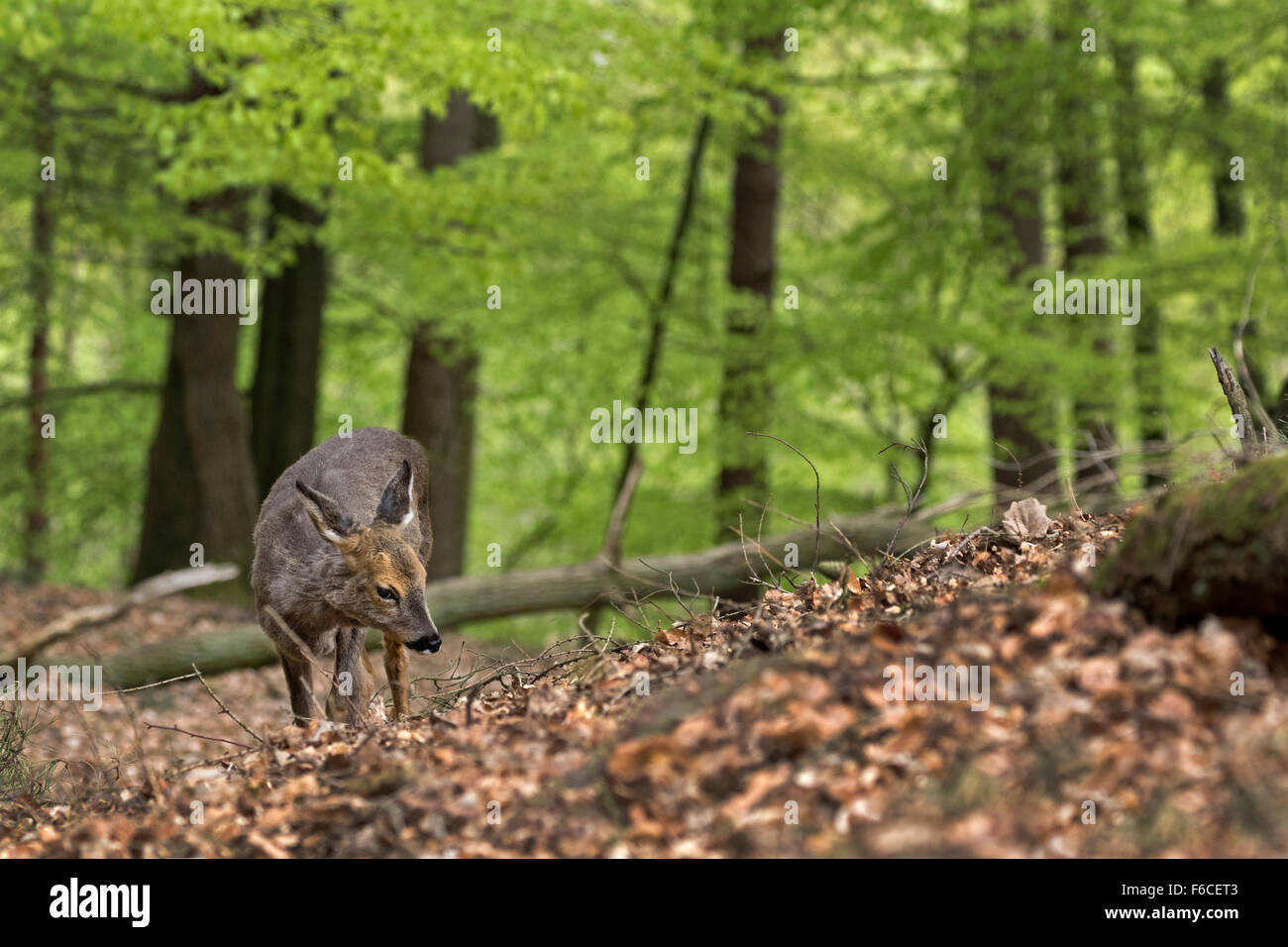 European roe deer standing in a forest / Capreolus capreolus - Stock Image