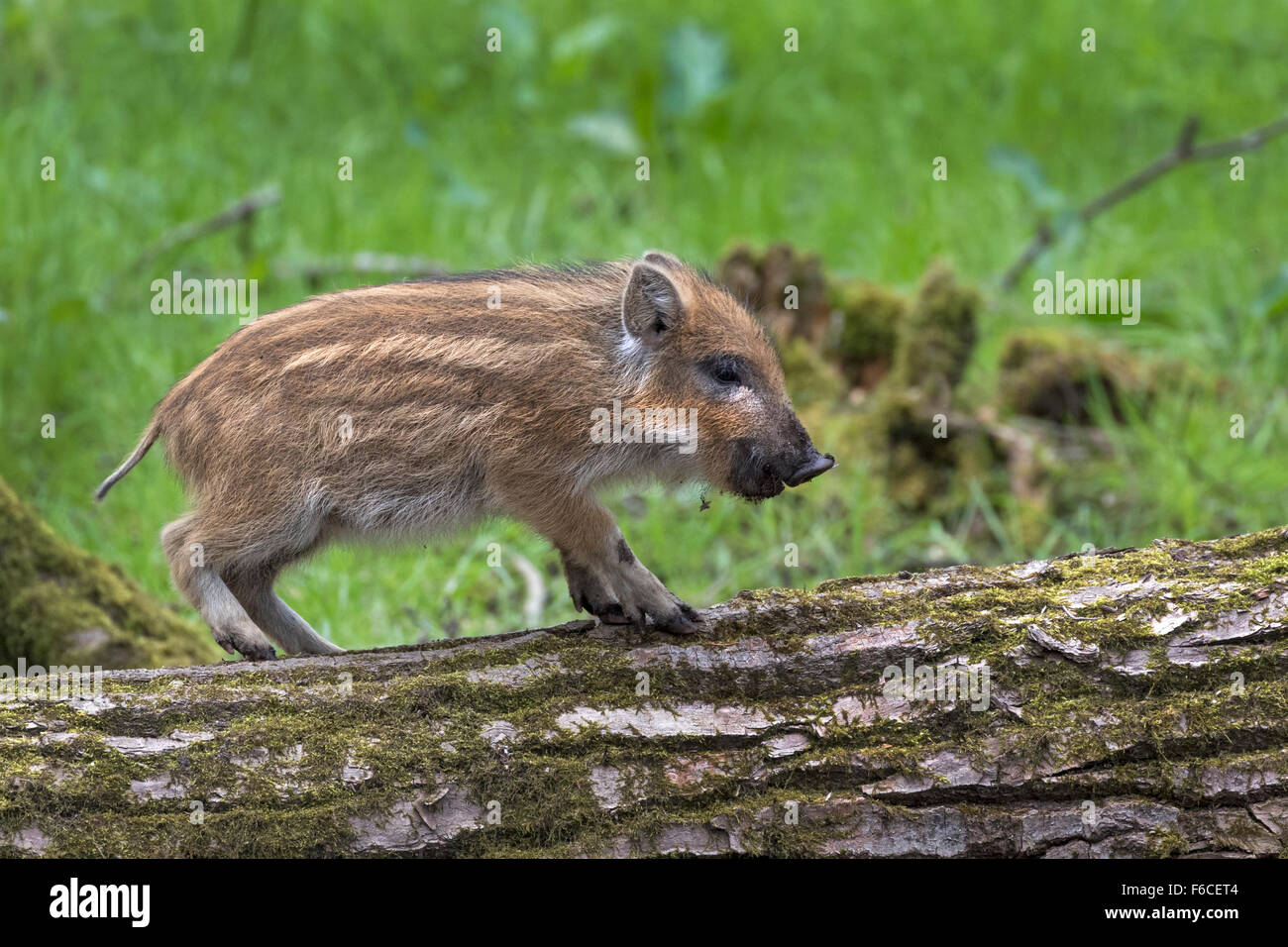 Young Wild boar on a trunk in a forest / Sus scrofa - Stock Image