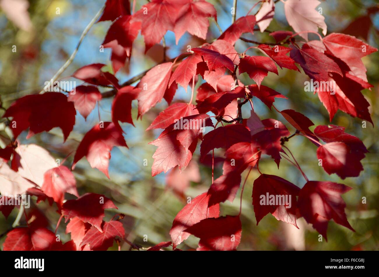 ruby red fall leaves autumn brooklyn - Stock Image