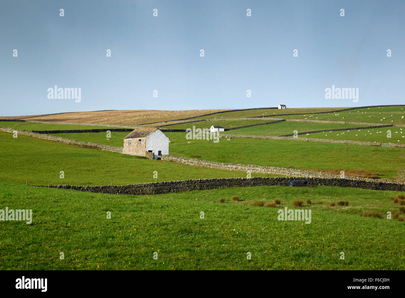 Barns and dry stone walls in Teesdale, Near Newbiggin. County Durham. England. UK. White washed barns are a distinctive - Stock Image