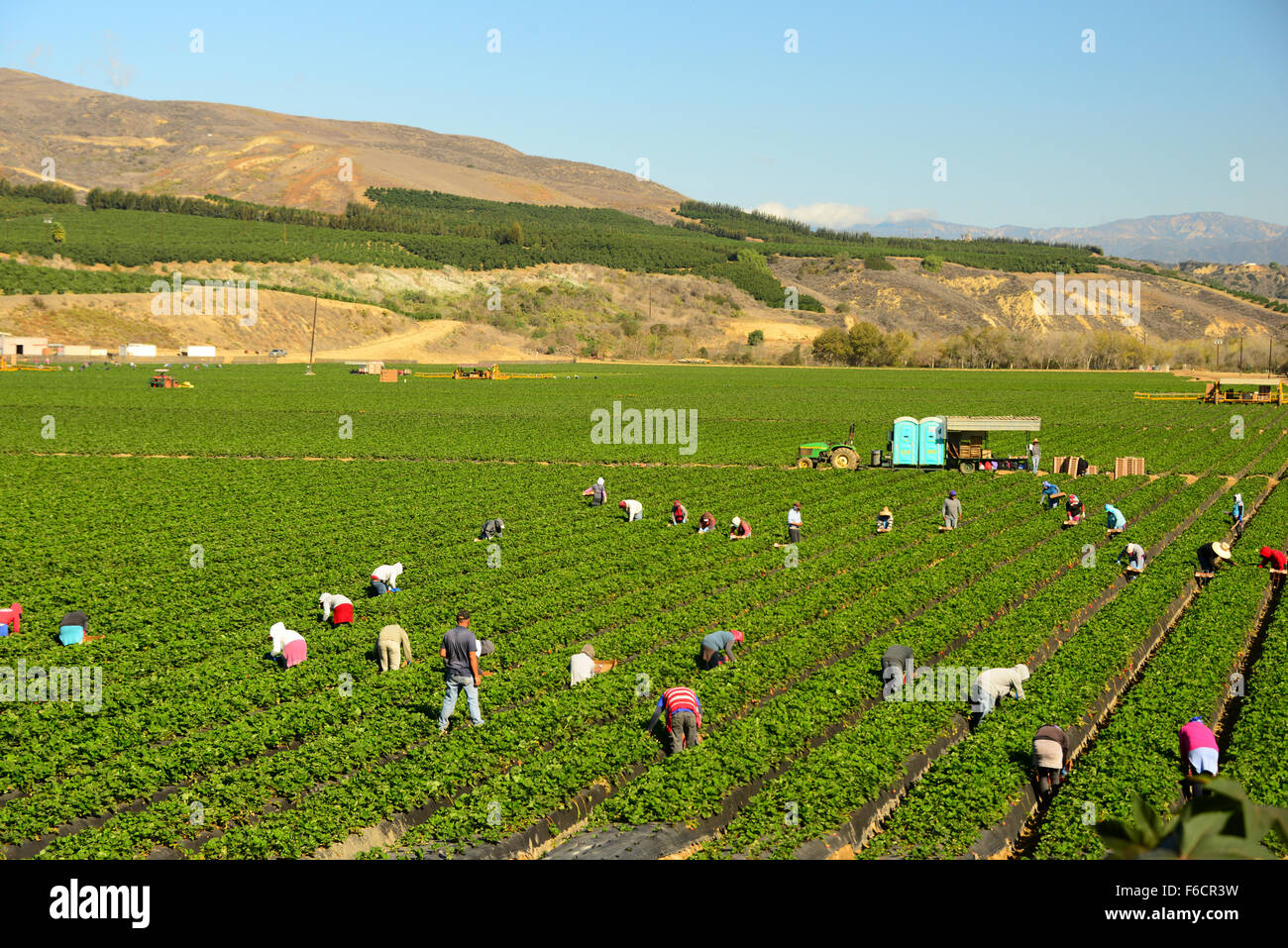 migrant seasonal Mexican workers work picking strawberry crop in Oxnard Central California USA - Stock Image