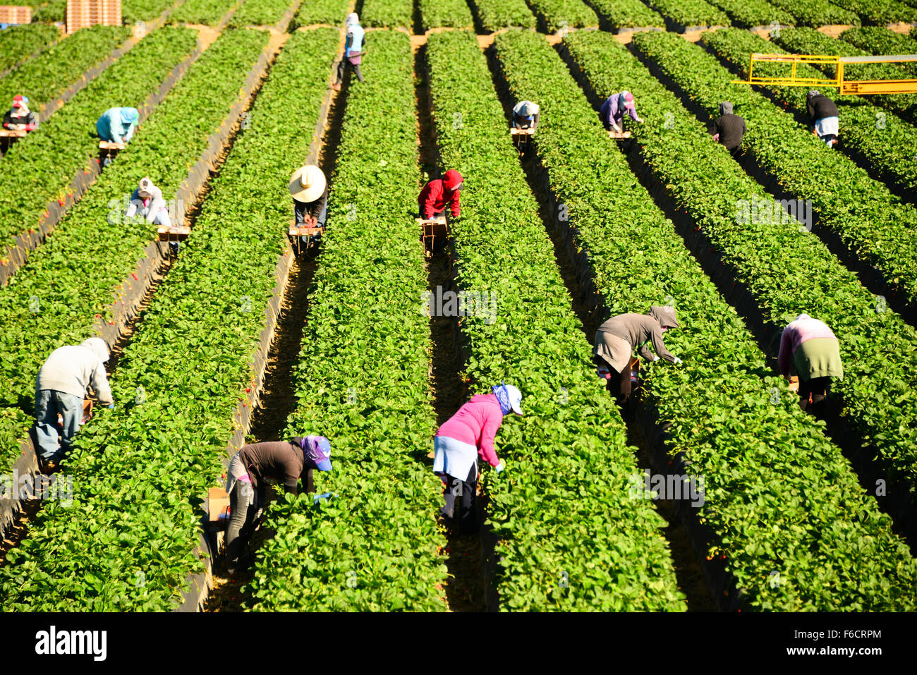 Mexican migrant workers pick strawberries in strawberry fields near Ventura in Central California USA - Stock Image