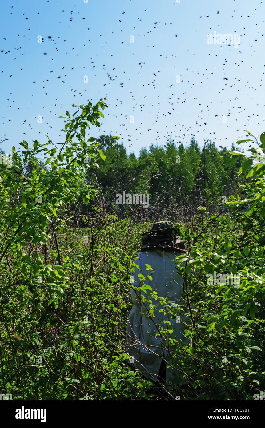 Installation of a trap for the flying bees swarm. - Stock Image