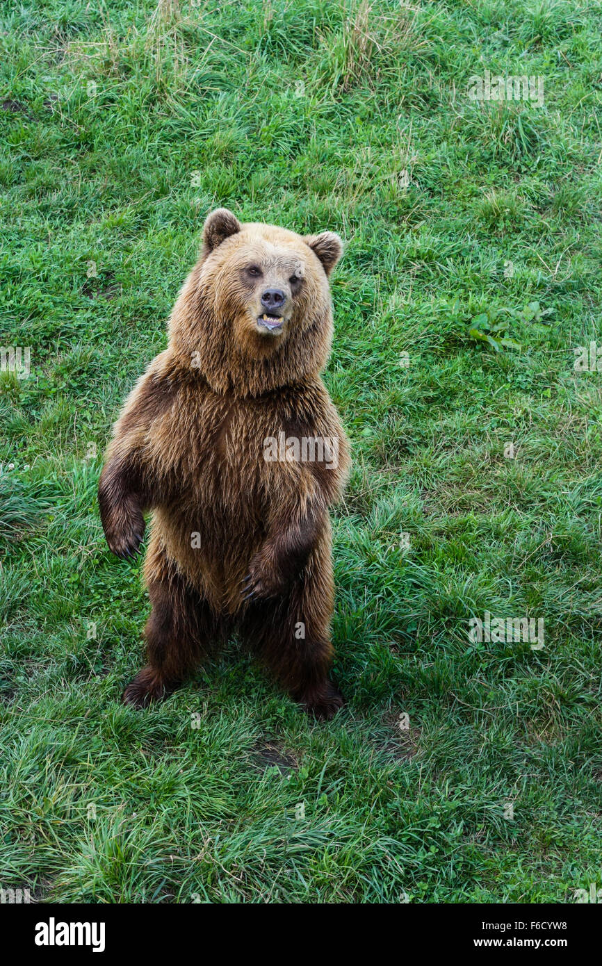 Brown bear in captivity - Stock Image