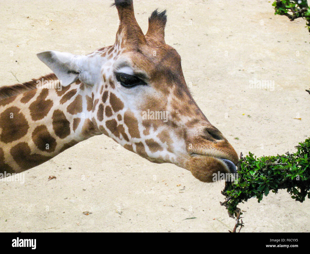Close up of giraffe eating leaves Stock Photo