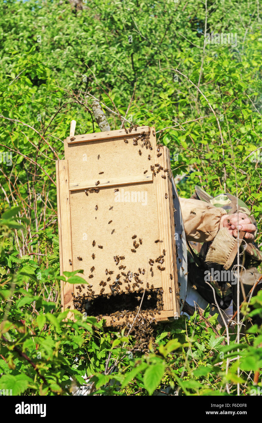 Capture of a spring swarm of bees. - Stock Image