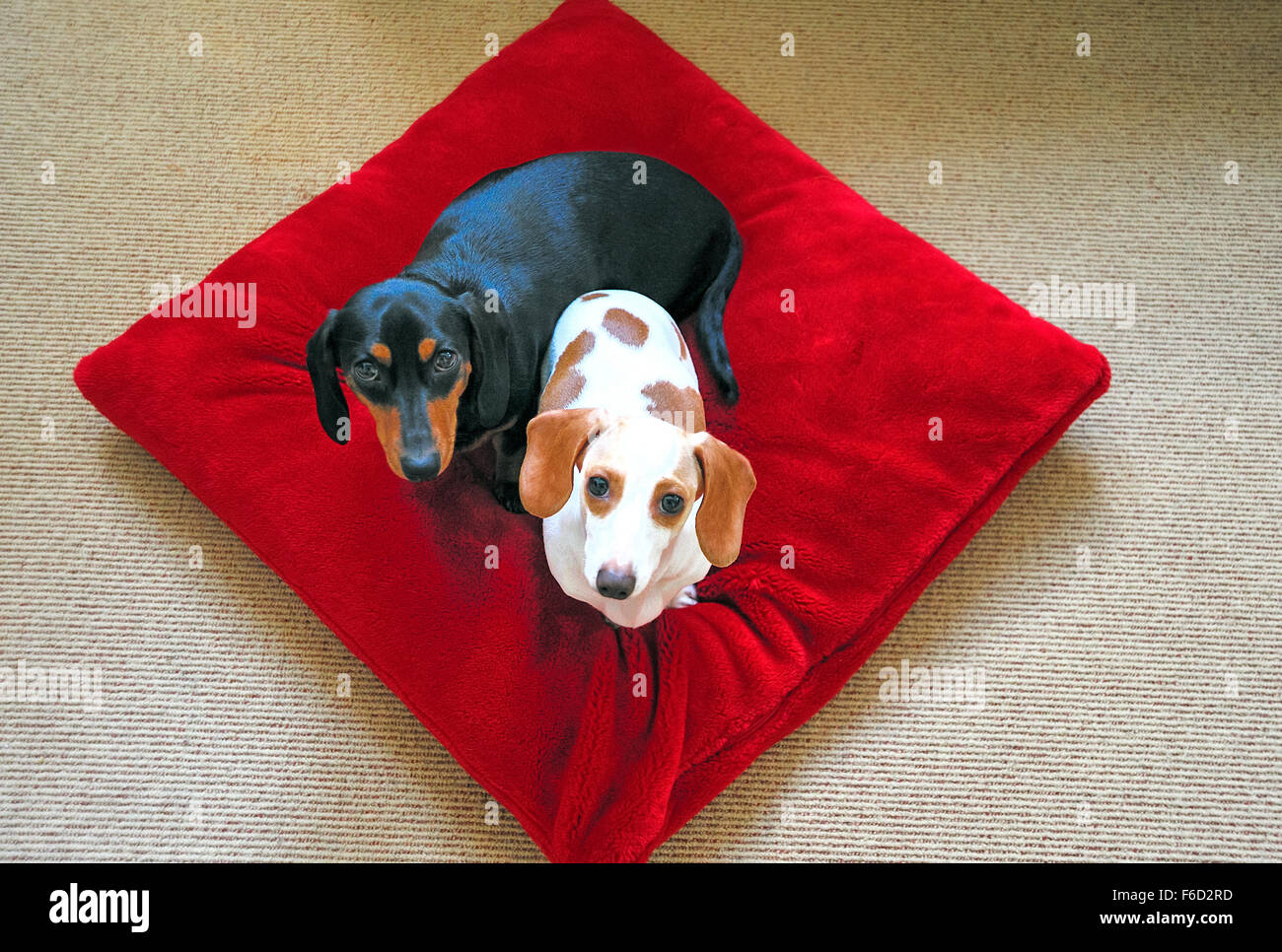 Two young dachshunds on a red pillow looking up - Stock Image