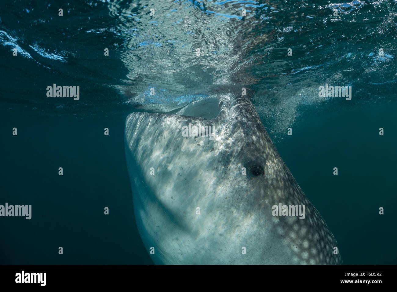 Whale Shark feeds on Plankton, Rhincodon typus, La Paz, Baja California Sur, Mexico - Stock Image