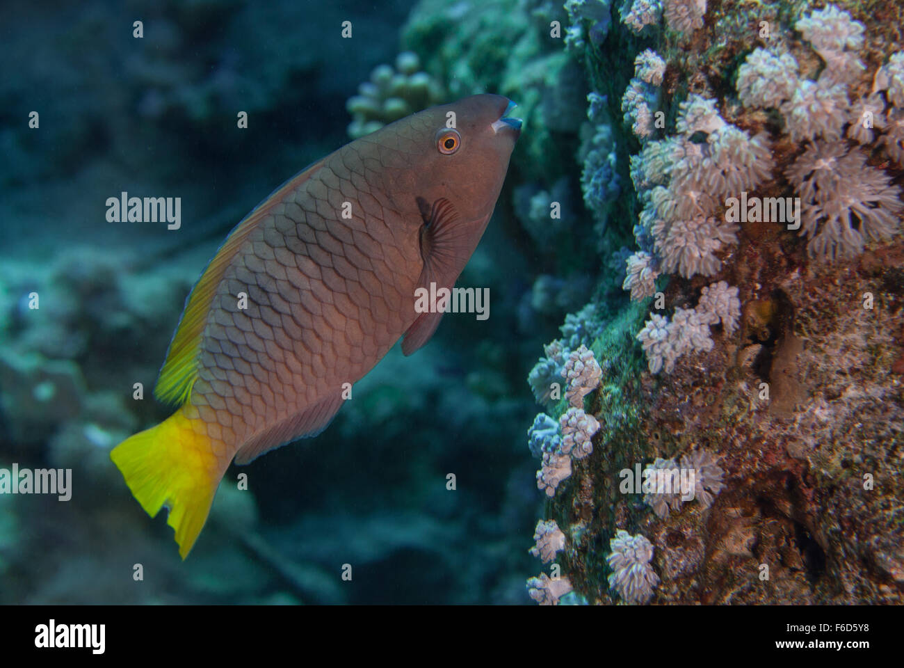 Initial phase Rusty Parrotfish, Scarus ferrugineus, Scaridae, Sharm el- Sheikh, Red Sea, Egypt - Stock Image