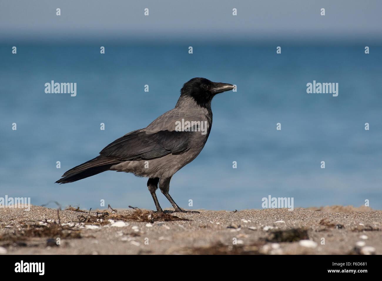 Carrion Crow, crows, Nebelkrähe, Nebel-Krähe, Aaskrähe, Aas-Krähe, Krähe, Krähen, - Stock Image