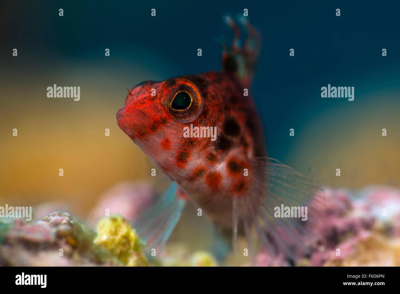 Coral Hawkfish, Cirrhitichthys oxycephalus, La Paz, Baja California Sur, Mexico - Stock Image