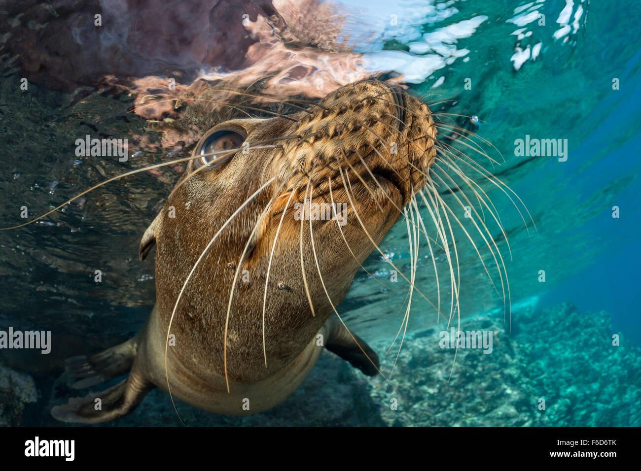 California Sea Lion, Zalophus californianus, La Paz, Baja California Sur, Mexico Stock Photo