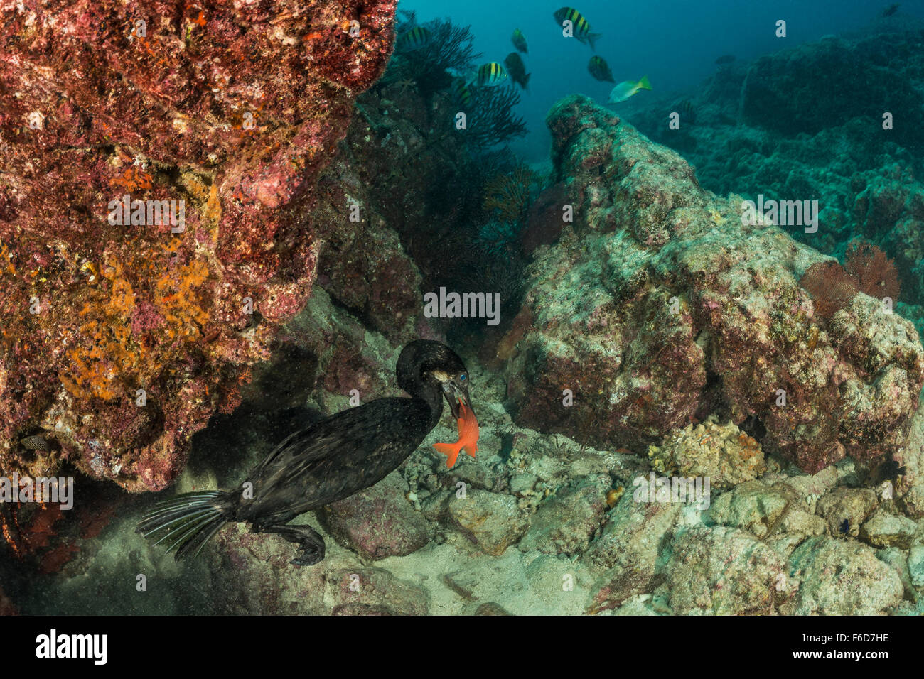 Brandts Cormorant captured Fish, Phalacrocorax penicillatus, La Paz, Baja California Sur, Mexico Stock Photo