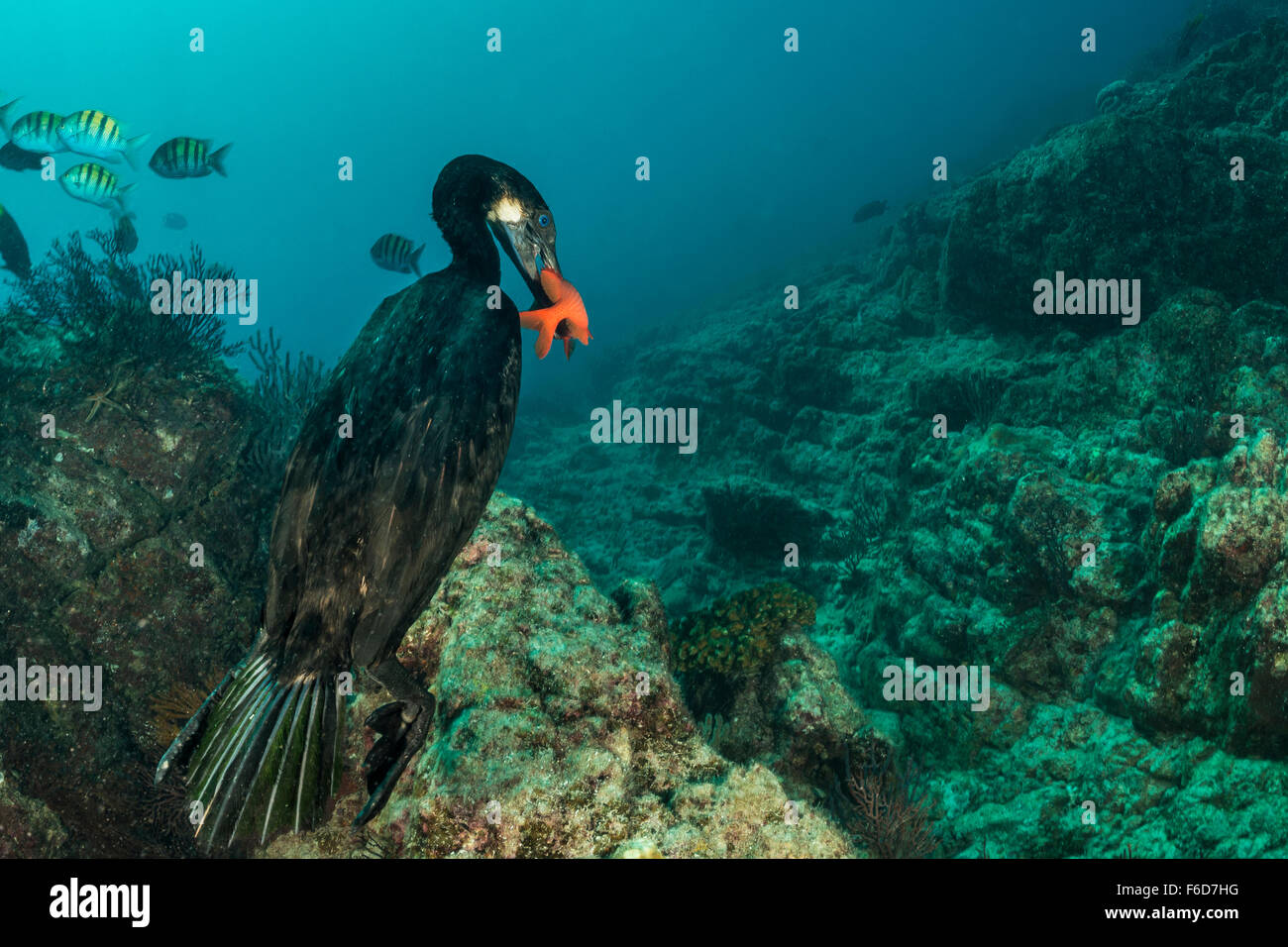 Brandts Cormorant captured Fish, Phalacrocorax penicillatus, La Paz, Baja California Sur, Mexico - Stock Image