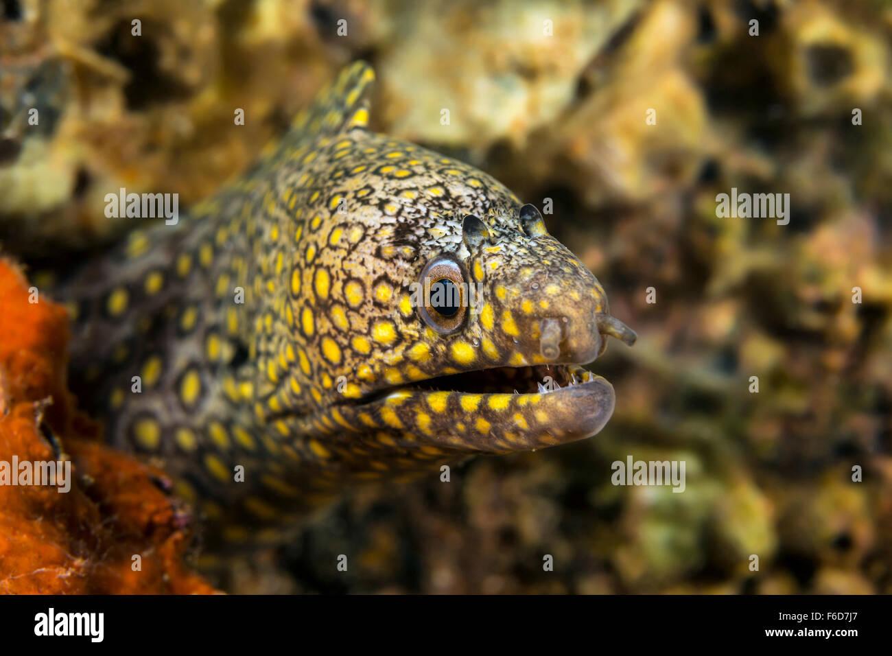 Jewel Moray, Muraena lentiginosa, La Paz, Baja California Sur, Mexico - Stock Image
