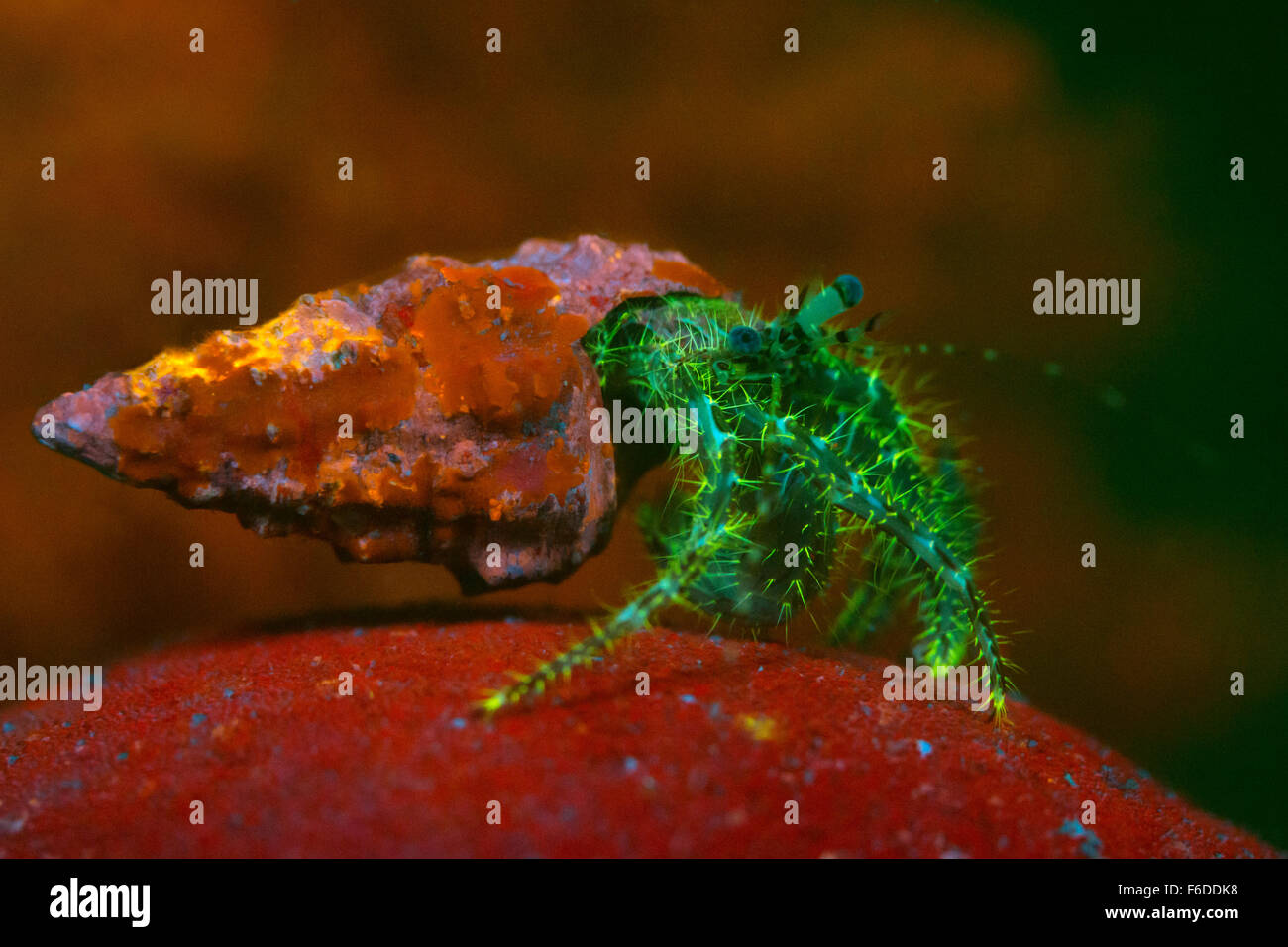 Fluorescent Long-armed Hermit Crab, Pagurus anachoretus, Piran, Slovenia - Stock Image