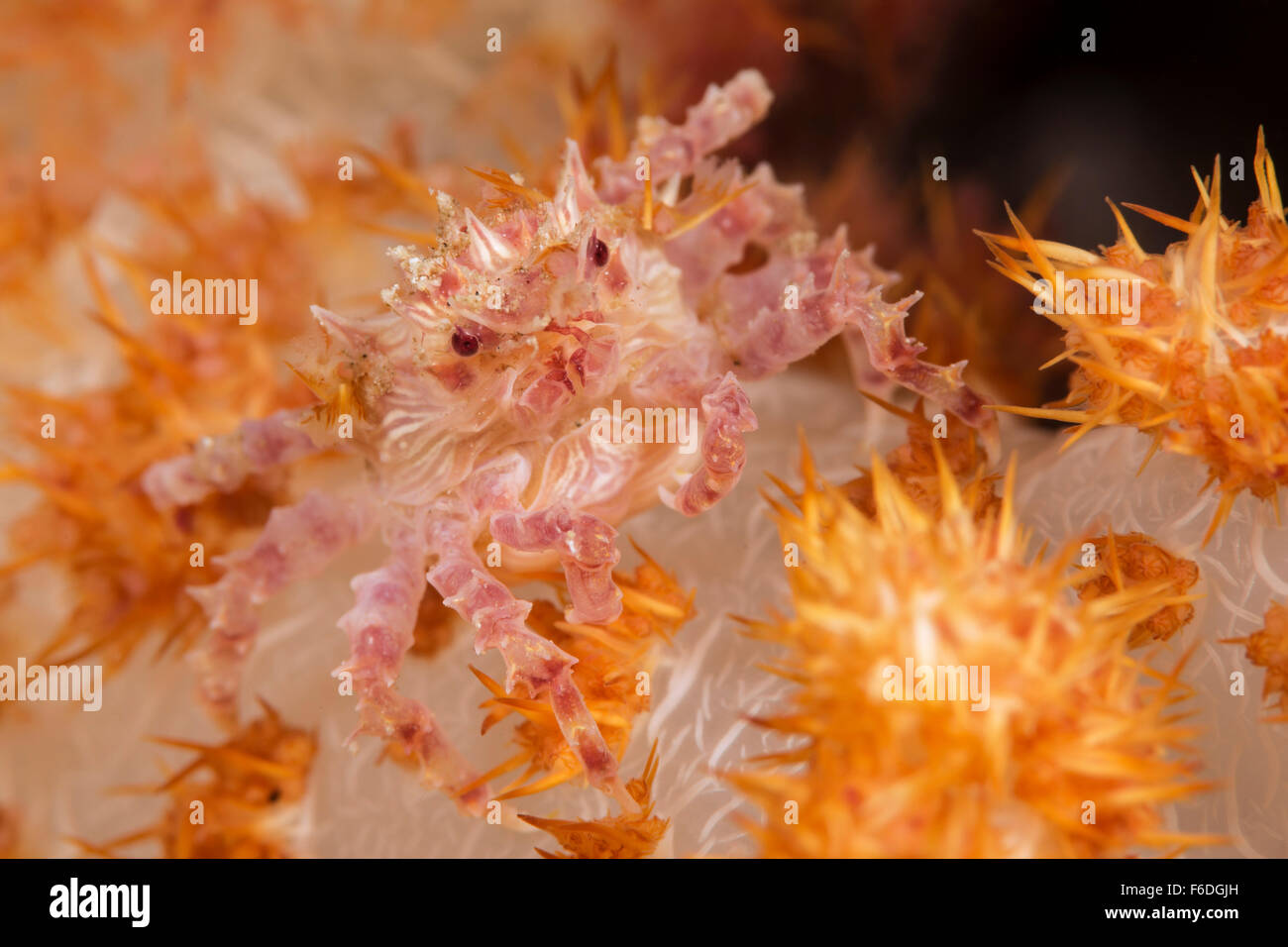Soft Coral Crab, Hoplophrys oatesii, Alor, Indonesia - Stock Image