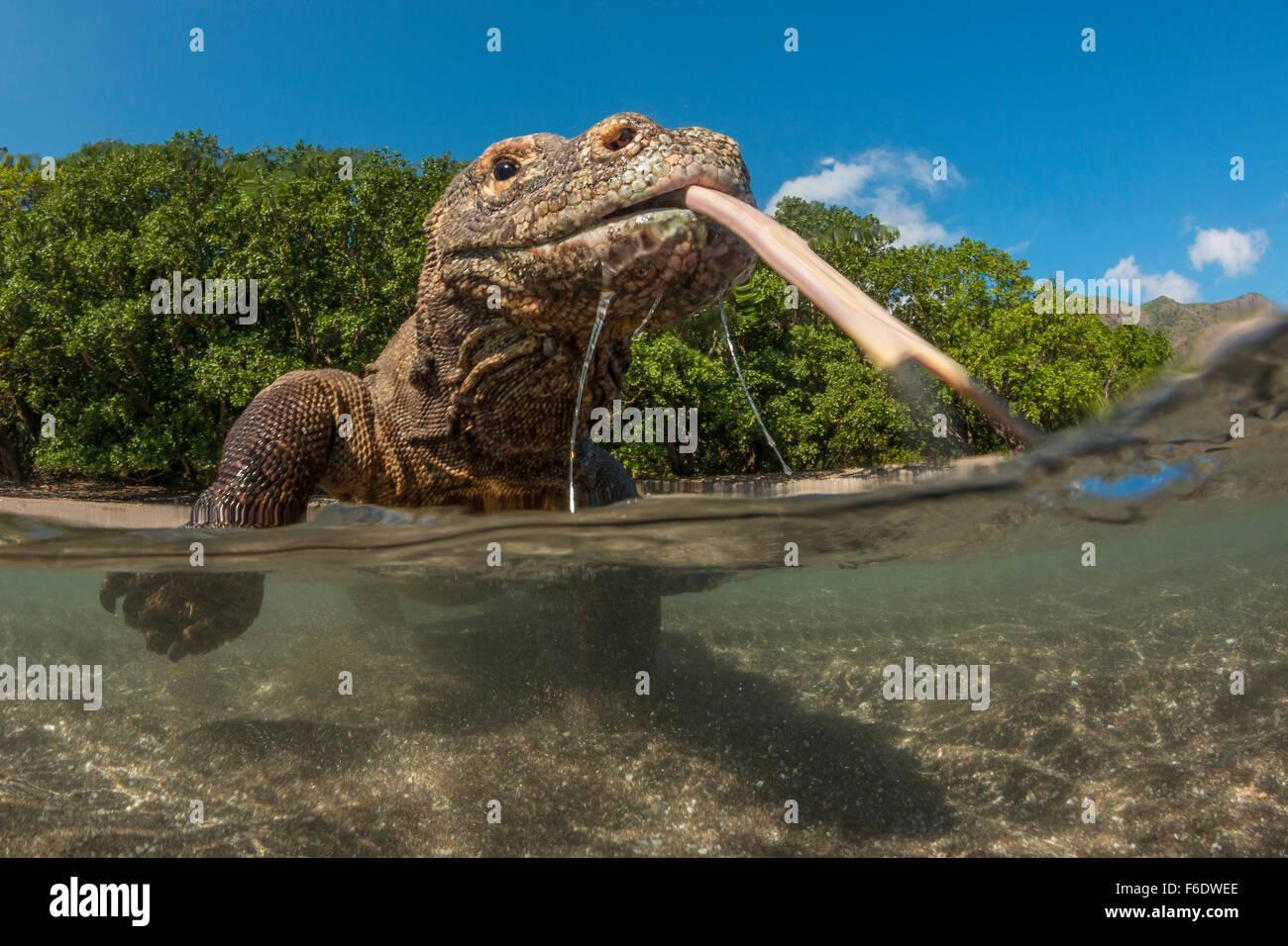 Komodo Dragon, Varanus komodoensis, Komodo, Indonesia - Stock Image