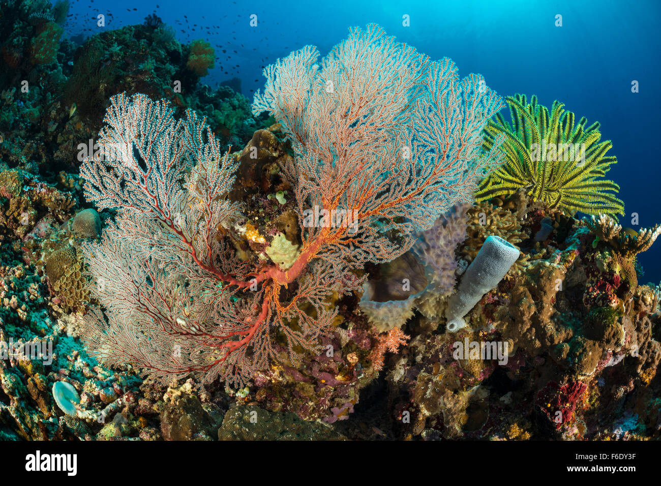 Colored Coral Reef, Melithaea sp., Komodo, Indonesia - Stock Image