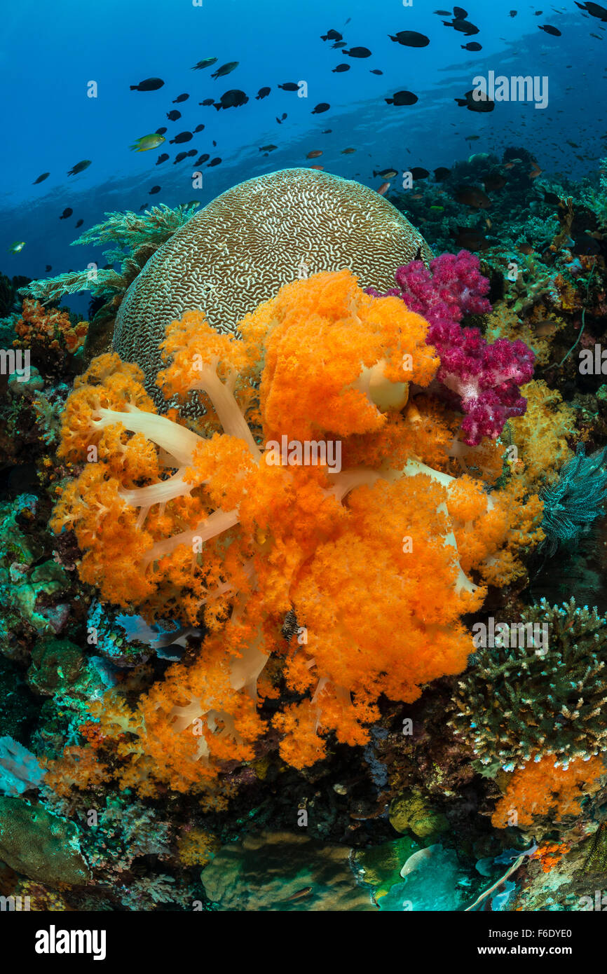 Colored Coral Reef, Dendronepthya sp., Komodo, Indonesia - Stock Image