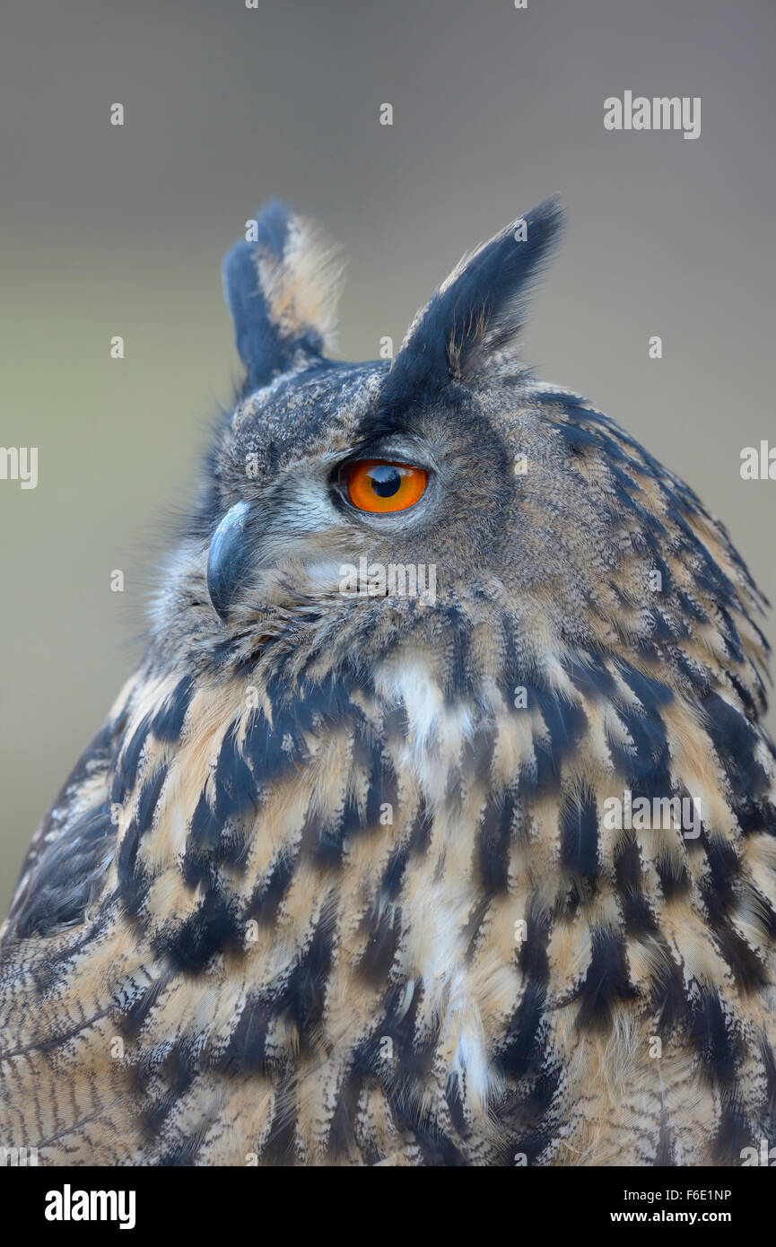 Eurasian eagle-owl (Bubo bubo), adult female, portrait, Sumava National Park, Bohemia, Czech Republic - Stock Image