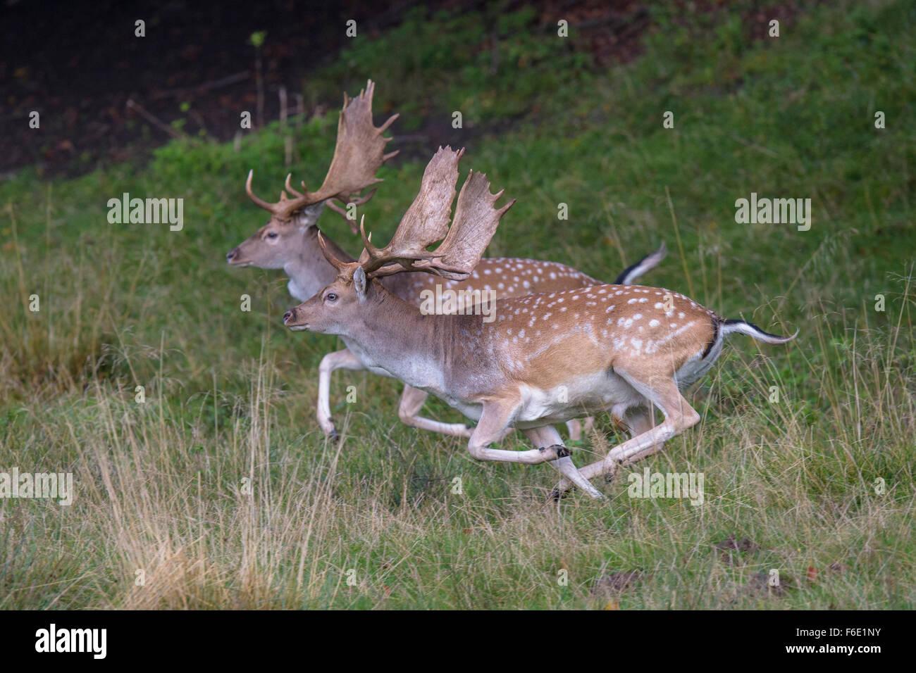 Fallow deer (Dama dama), bucks fleeing, Zealand, Denmark - Stock Image