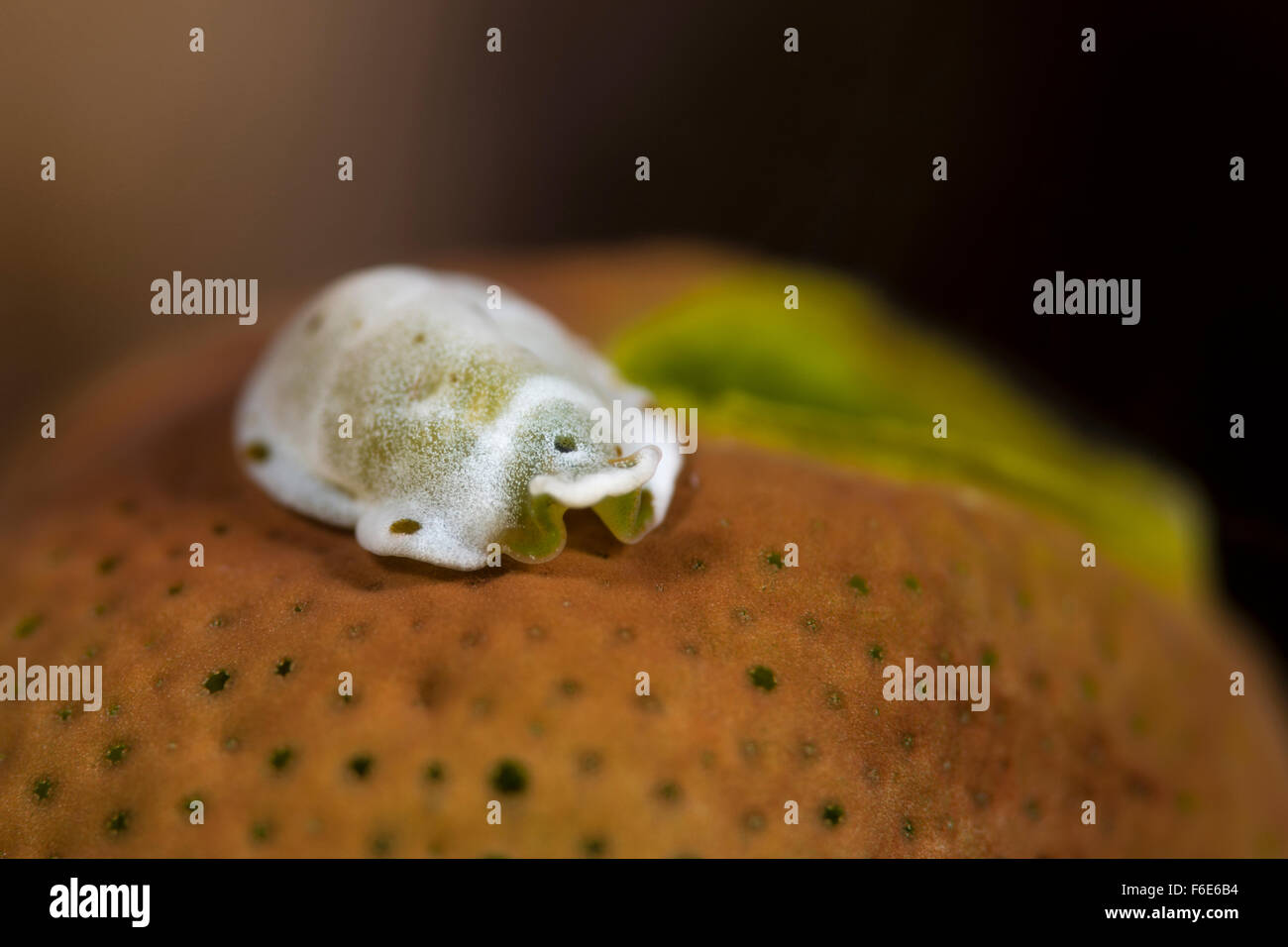 Flatworm on Sea Squirt, Ascidiophilla alba, Komodo, Indonesia - Stock Image