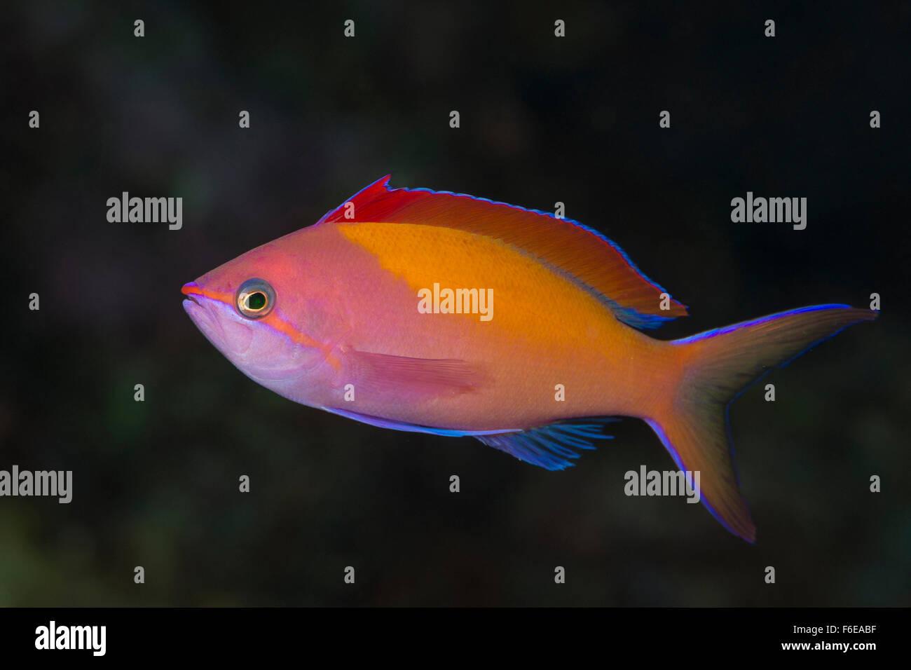 Redfin Fairy Basslet, Pseudanthias dispar, Flores, Indonesia Stock Photo