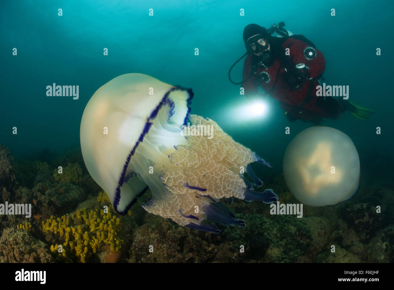 Rhizostome Jellyfish and Scuba Diver, Rhizostoma pulmo, Piran, Slovenia - Stock Image