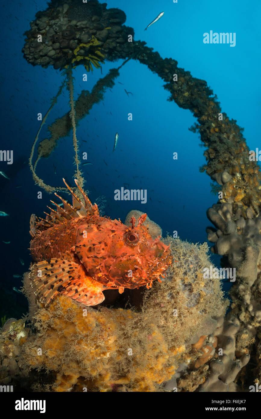 Red Rockfish at Wreck SS Albanien in 75 m depth, Scorpaena scrofa, Pag, Croatia - Stock Image
