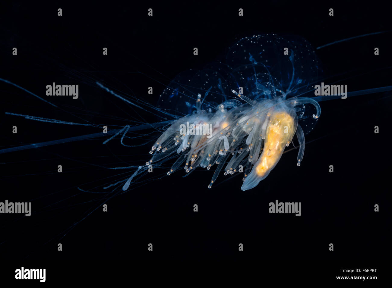 String Jellyfish, Apolemia uvaria, Korcula, Croatia Stock Photo