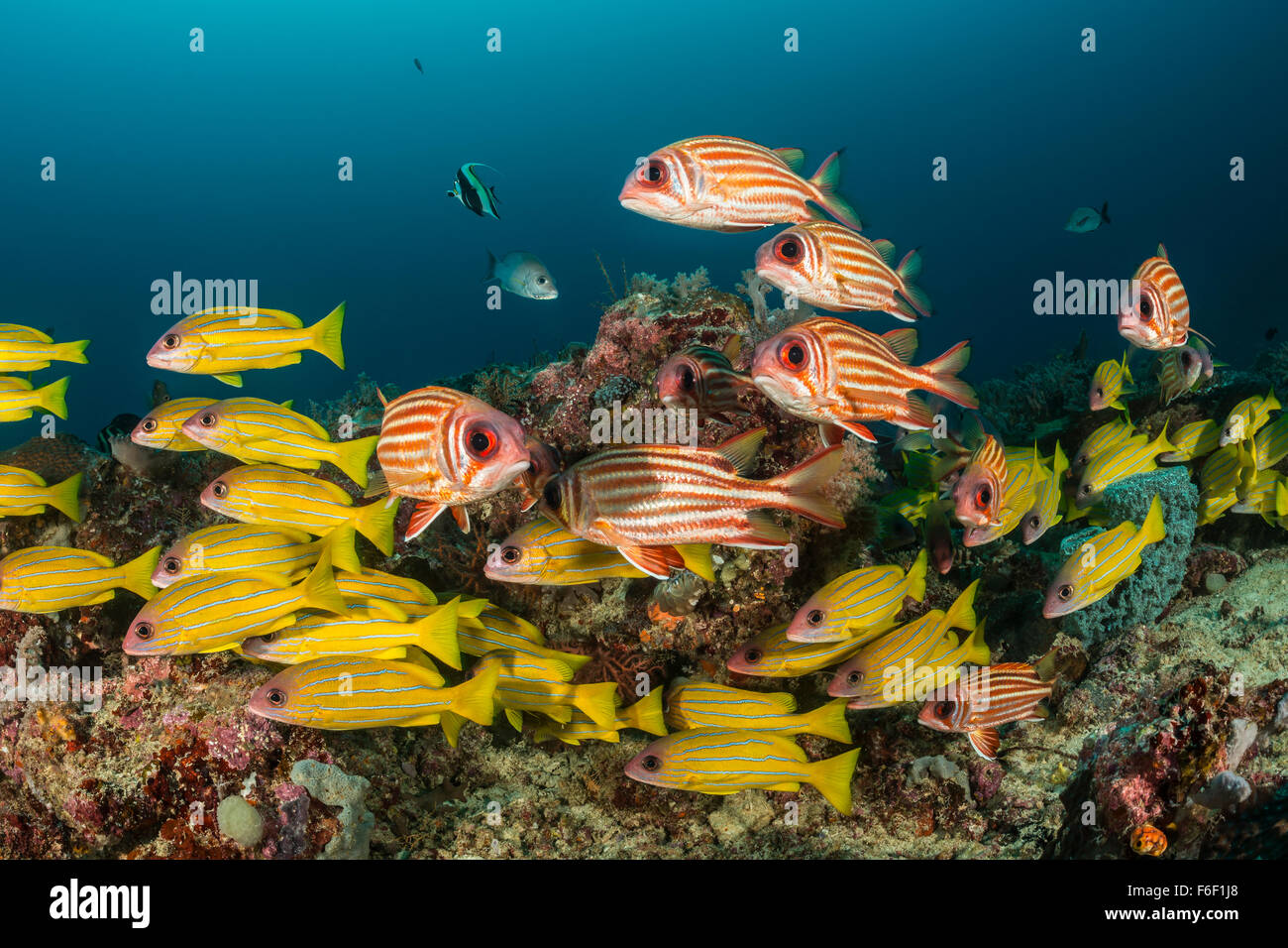 Shoal of Five-lined Snapper and Red Squirrelfish, Lutjanus quinquelineatus, Sargocentron rubrum, Raja Ampat, Indonesia Stock Photo