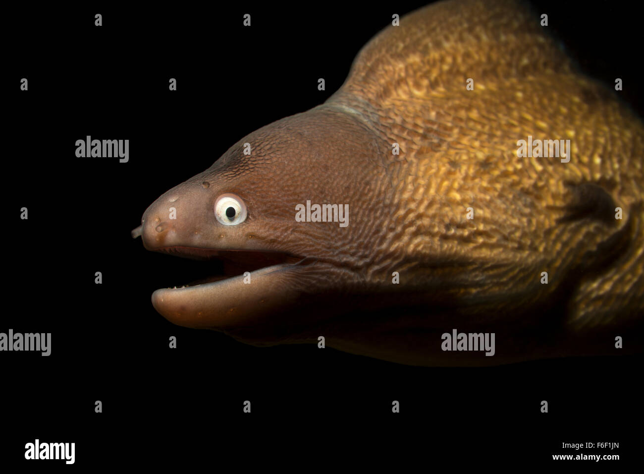 Greyface Moray, Siderea prosopeion, Ambon, Indonesia - Stock Image