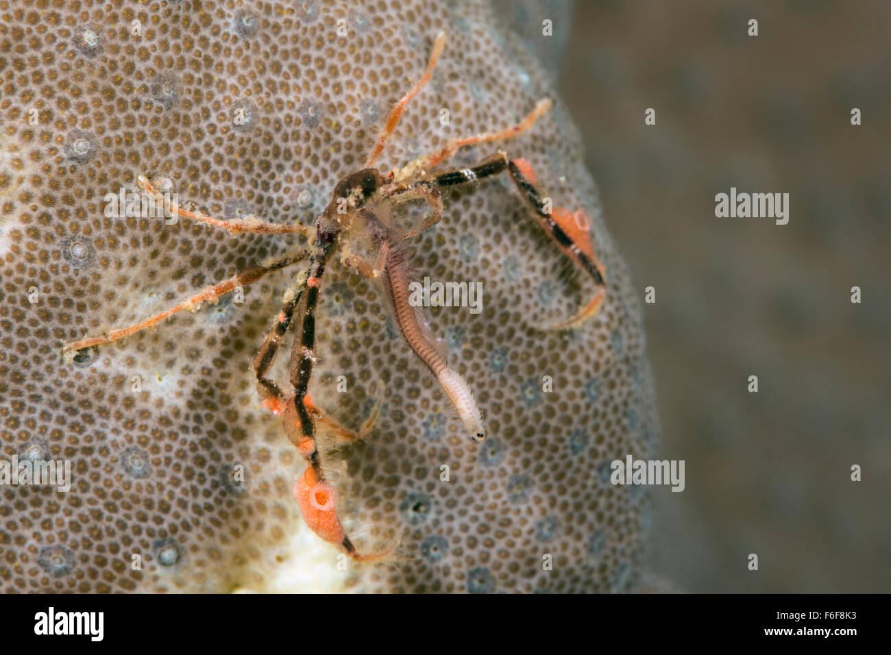 Spider Crab feeds on Worm, Achaeus japonicus, Flores, Indonesia - Stock Image