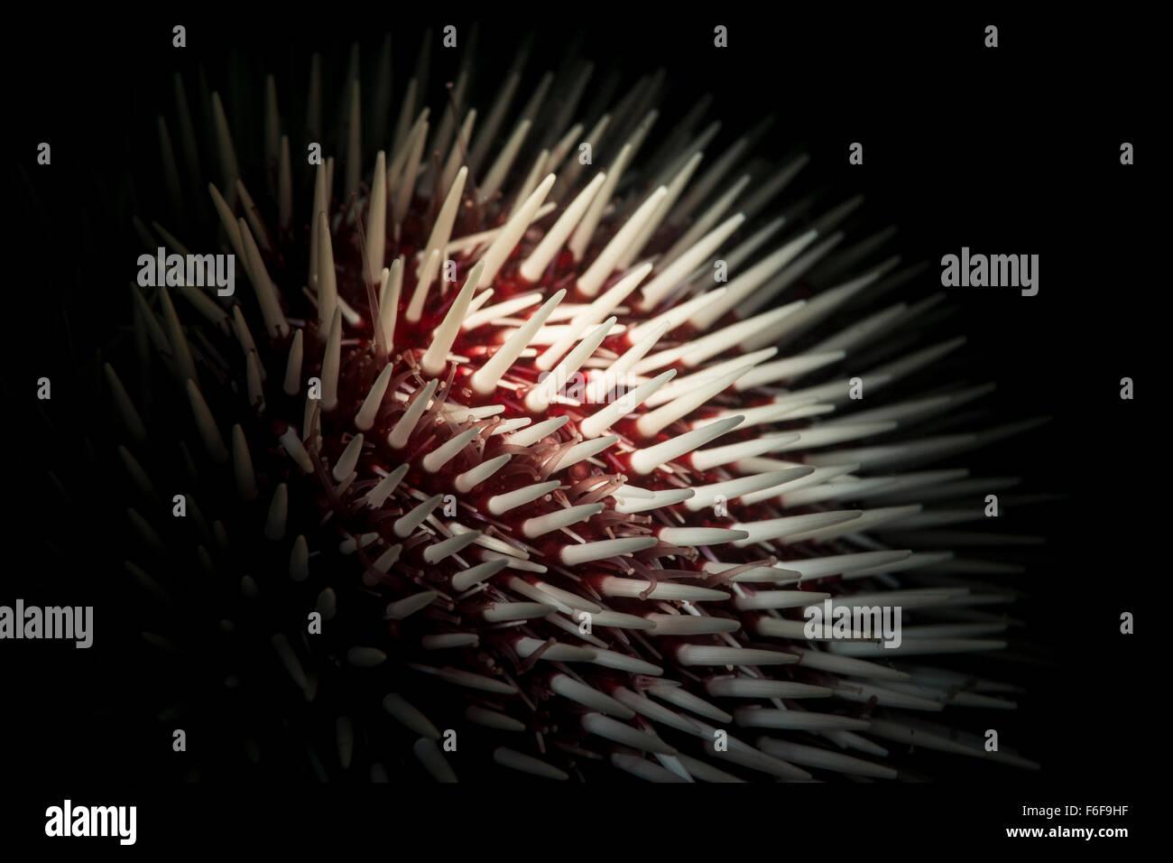 Mediterranean Sea Urchin, Sphaerechinus granularis, Piran, Slovenia - Stock Image