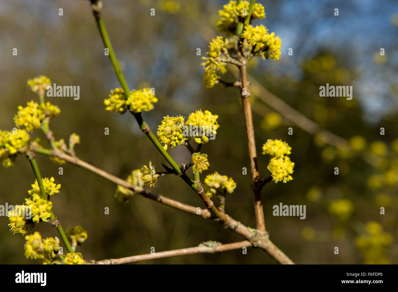 Bright Tight Yellow Flower Buds On A Perennial Shrub Within The