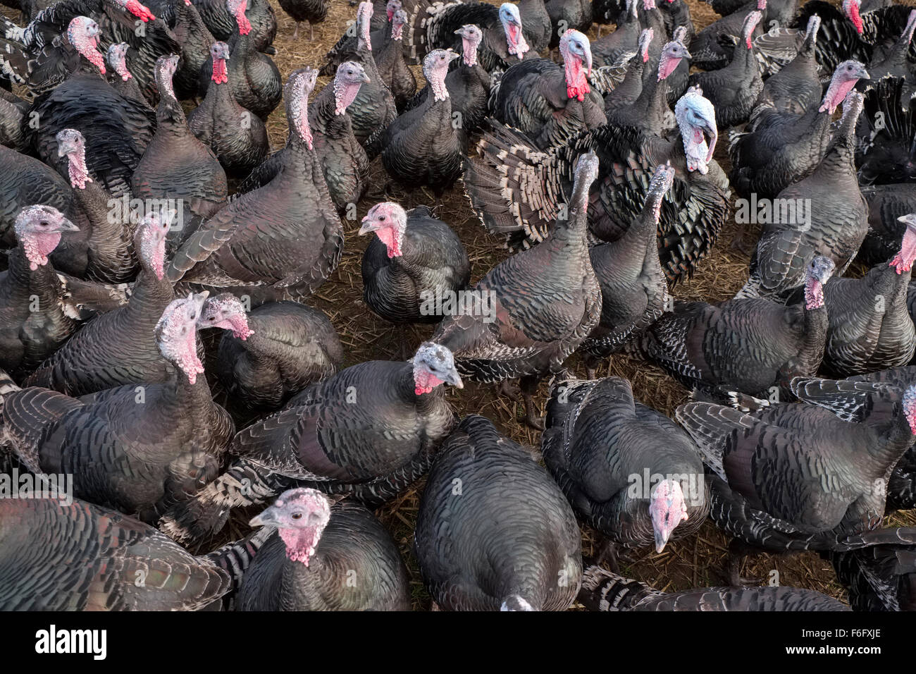 Bronze Free Range Turkeys on a Norfolk Farm - Stock Image