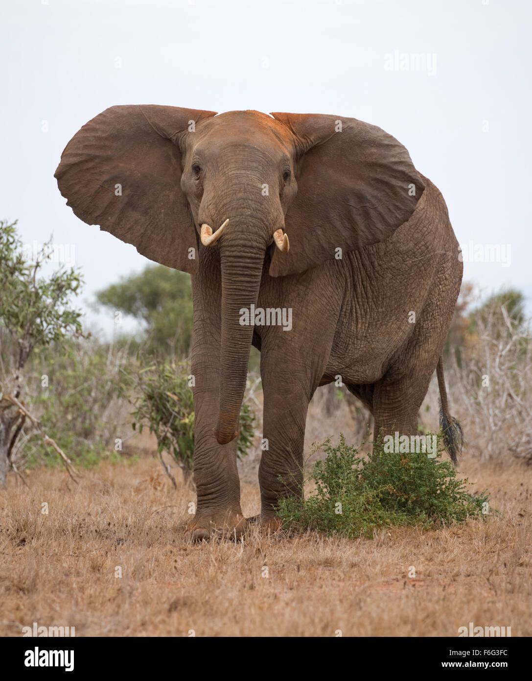 Elephant threatening ears flapping Loxodonta africana Tsavo East National Park Kenya - Stock Image