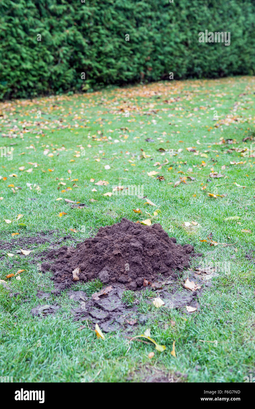 Lawn damaged by European mole - Stock Image