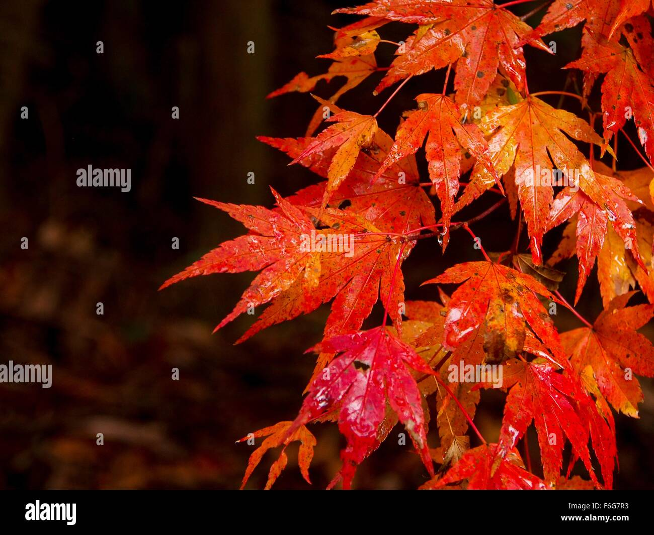 Close up of autumn leaves in the rain Stock Photo