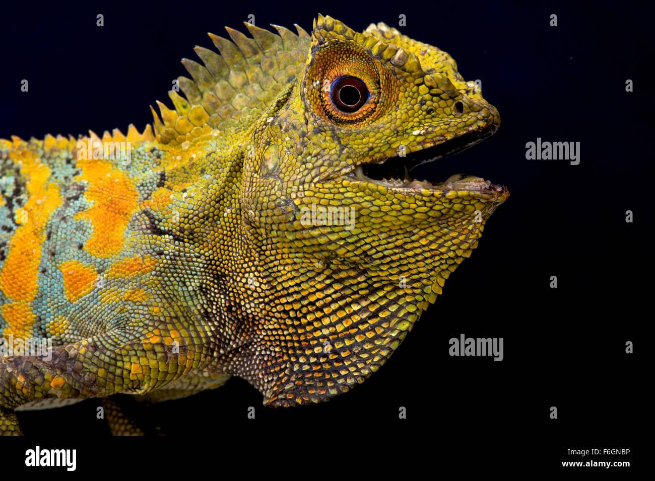 Javan Humphead Lizard (Gonocephalus chamaeleontinus) - Stock Image