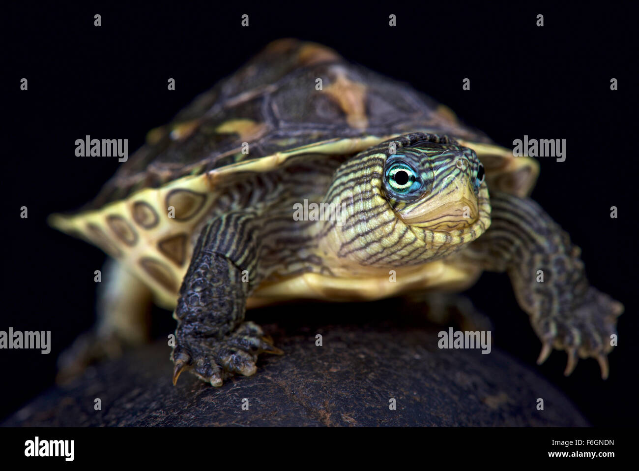 Chinese stripe-necked turtle (Mauremys sinensis) - Stock Image