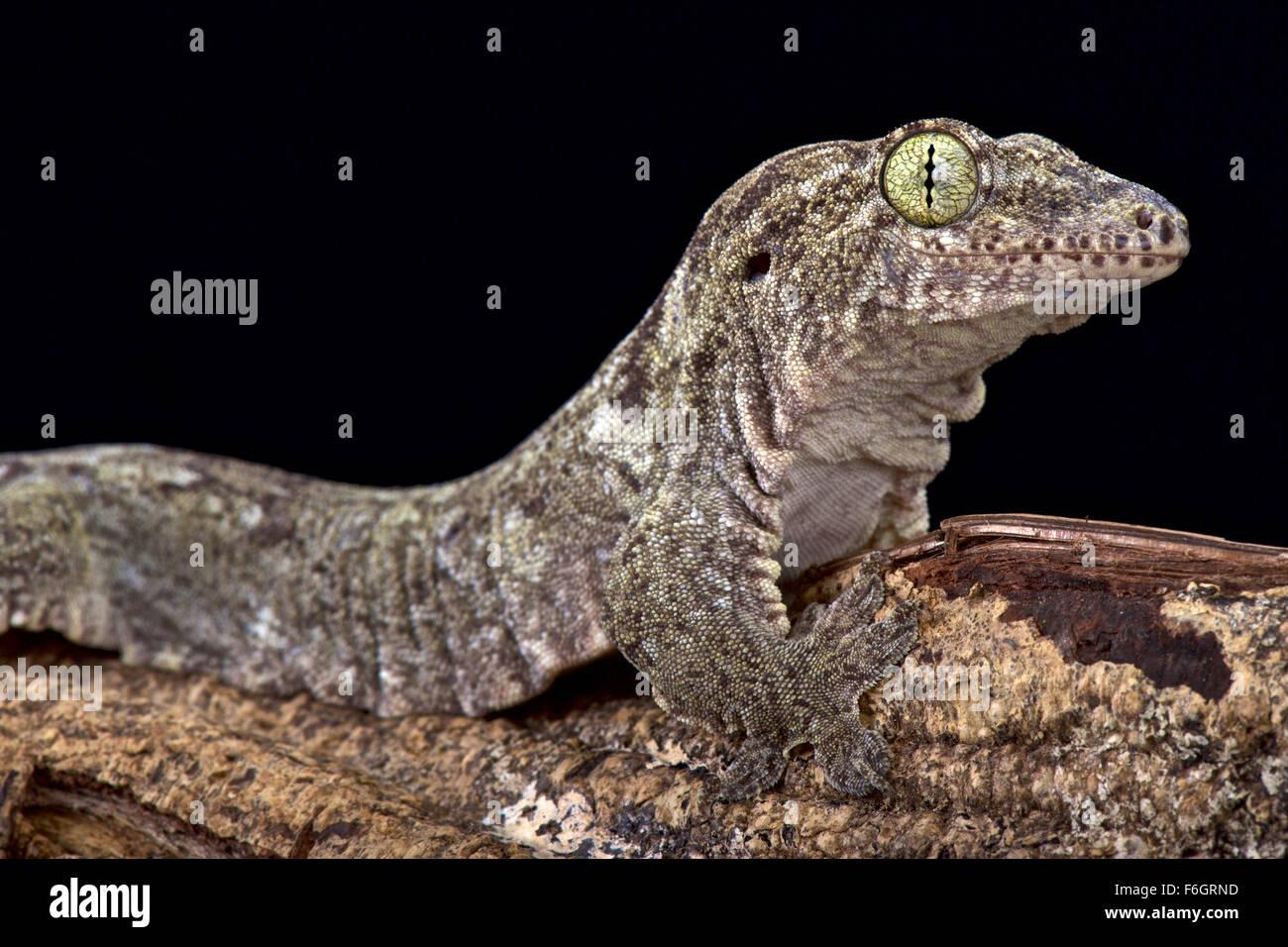 Oceanic Gecko (Gehyra oceanica) - Stock Image