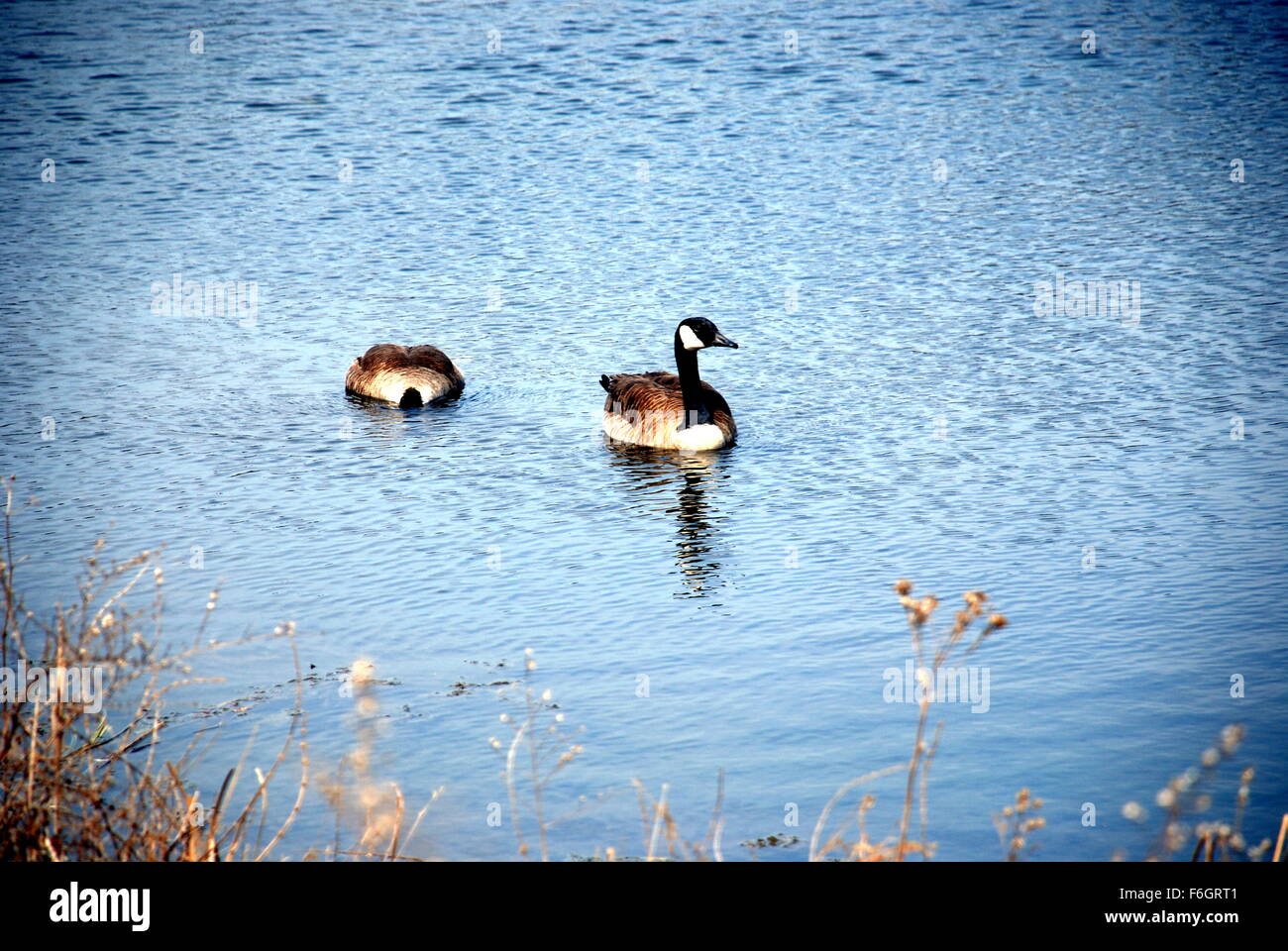 Canadian Geese - Stock Image
